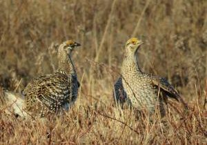 sharp-tail_grouse2